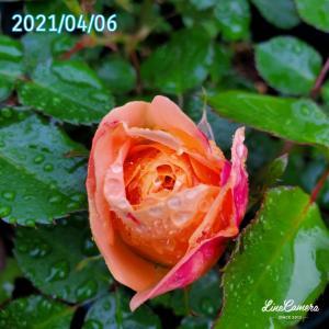 去年よりむちゃくちゃ早そうなラドルチェヴィータの開花