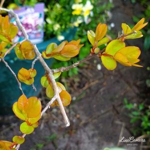 開花レースを制した木立バラ