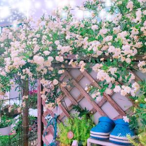 様々な顔を見せる白八重咲きモッコウバラと根付いた挿し木