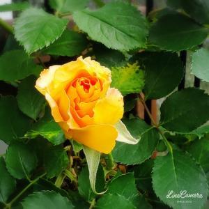 2021/04/12~13のバラの蕾の様子