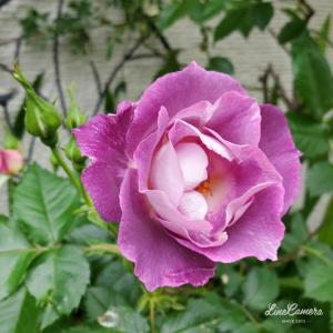 ブルーフォーユーの開花とチューリップらしくないチューリップ