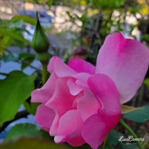 スパニッシュビューティーが例年通りの咲き方で開花