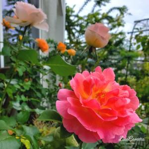 ミルキーホワイトのデッキのバラ