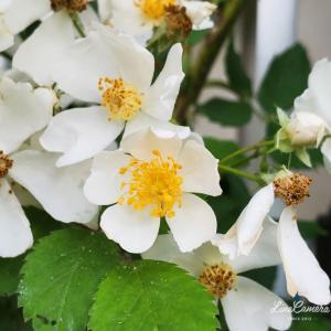 ノイバラとコラボできるかもなラレーヌヴィクトリアとノーマークだったアトール'99の開花