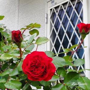 白い外壁に映える赤バラたち