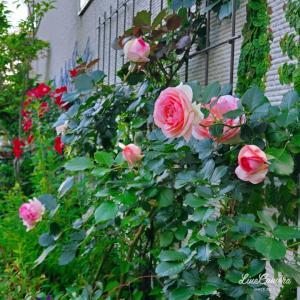 東の壁面を飾るバラ