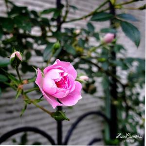 地植えにした夢乙女の開花