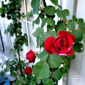 カペルマナーハウスと花もち抜群レッドレオナルドダヴィンチ