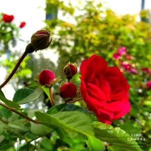 花もちがよいドルトムントとラバルグートが作る景色