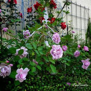 東側の道路沿いの低いフェンスに誘引したバラ