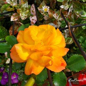 待ちわびたサハラの開花と、お気に入りの一重の木立バラたち。