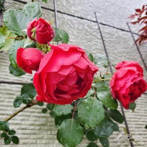 房咲きのキングと遅咲きフロレンティーナの開花