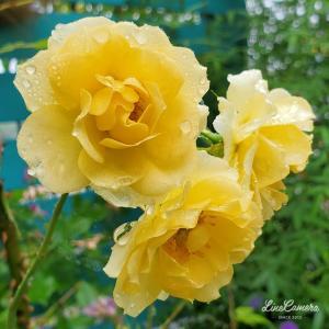 よく似た中輪の黄色いバラたち!アトール'99とリトルルチア