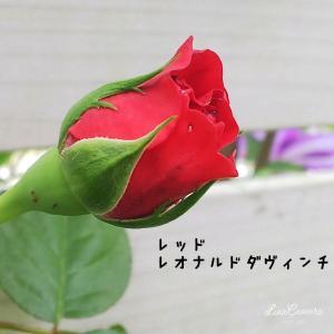 おすすめのつるバラ、レッドレオナルドダヴィンチとキングローズ