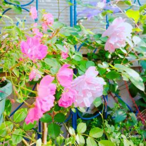 えこひいきしたいバラ、ダフネとリリアンオースチン