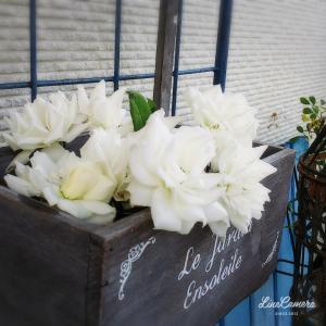 意外にも暑さに強いバラたち