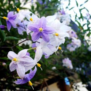 大好きなラベンダー色の花と軽い高枝切りはさみ『ライトチョキズーム』