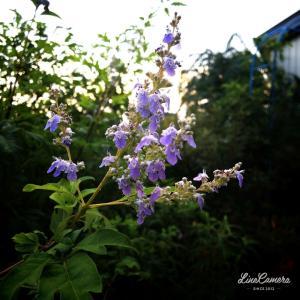 木陰があれば夏でも大丈夫なバラたち
