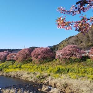 みなみの桜と菜の花まつり@南伊豆