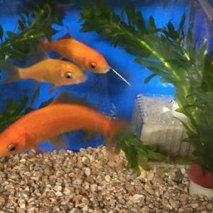 金魚も家族