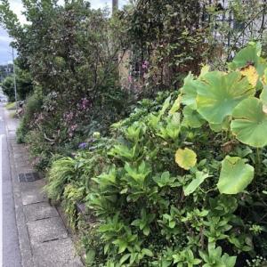 9月末、庭の様子「シュウメイギク」「ホトトギス」が咲いています
