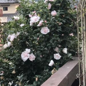 「ムクゲ」が次から次へと咲いています