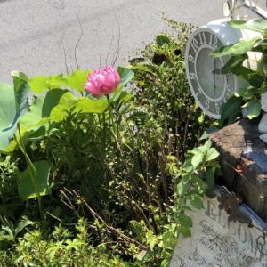 「茶碗蓮」「リコリス」が咲いています