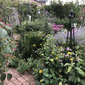 晩夏の庭「フロックス」「ラ・ローズ・ドゥ・モリナール」が繰り返し咲いています