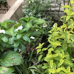 アプローチ花壇、「エキナセア'デリシャス・ナゲット'」の植え込みとエキナセア'グリーンエンジェル'その後