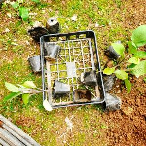 今年も義母の畑はコチュやナスを植えました(*´∇`)