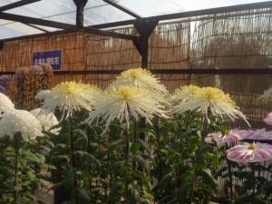 フラワーセンターで菊花を鑑賞