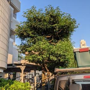 庭木の剪定と生ハム原木の処分