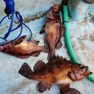 釣行記:三陸での黒メバルサビキ