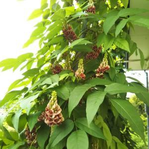アピオス ベニバナ 花がみごろ