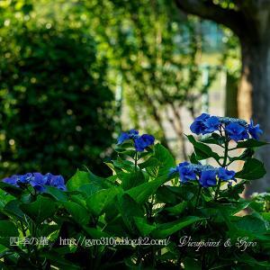 続・今年の紫陽花(その1)