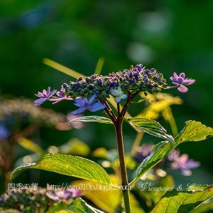 続・今年の紫陽花(その2)