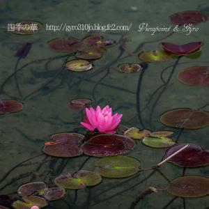 木崎湖の睡蓮
