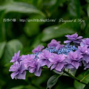 続々・今年の紫陽花(その1)
