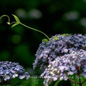 続々・今年の紫陽花(その2)