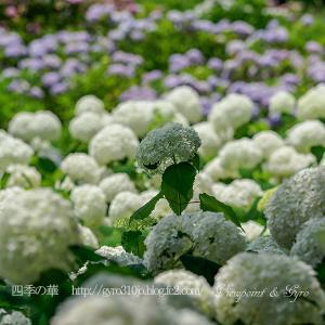 続々・今年の紫陽花(その3)