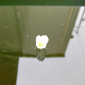 アナカリスの花