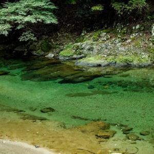 針畑川は、来春まで禁漁・・・天然マイタケ