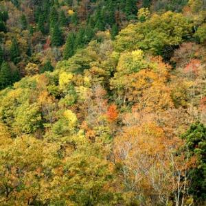 おにゅう峠・小入谷林道からの紅葉・・・衰えは足から