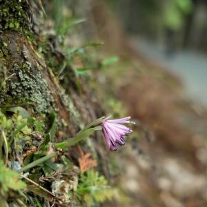 花歩き散歩!・・・ショウジョバカマ・ミヤマカタバミ・マメザクラ・ウメ