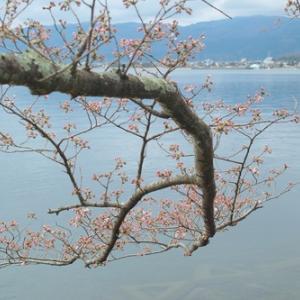 海津大崎桜と清水の桜・・・麒麟がくる!