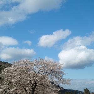 朽木大野桜は七分咲き・・・我が家のコロナ対策