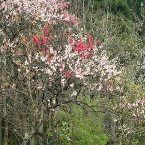 タラの芽・・・庭のハナモモと奥山渓谷のヤマザクラ