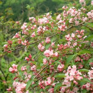 ピンクのタニウツギ・・・奥山渓谷とカエル