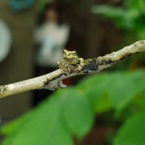 今年の田んぼ「カエルの学校」・・・ハンカチの木