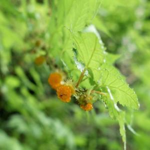 コロナ感染対策・・・キイチゴと天然カルガモ米づくり